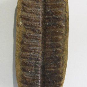 Fern Fossils
