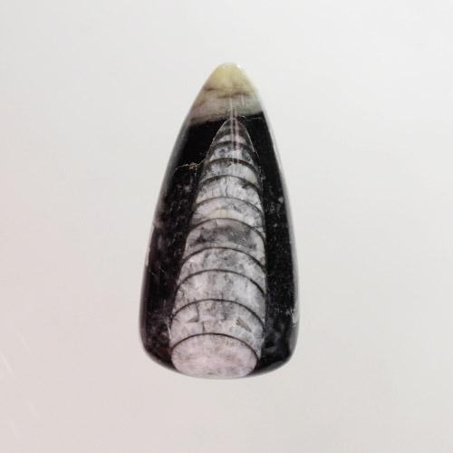 Fossil Orthoceras
