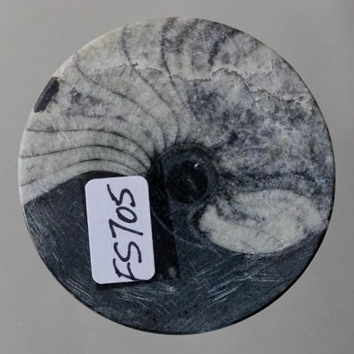Grey Ammonite in Matrix