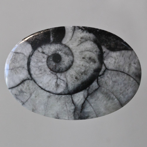 Grey Ammonite in Matrix